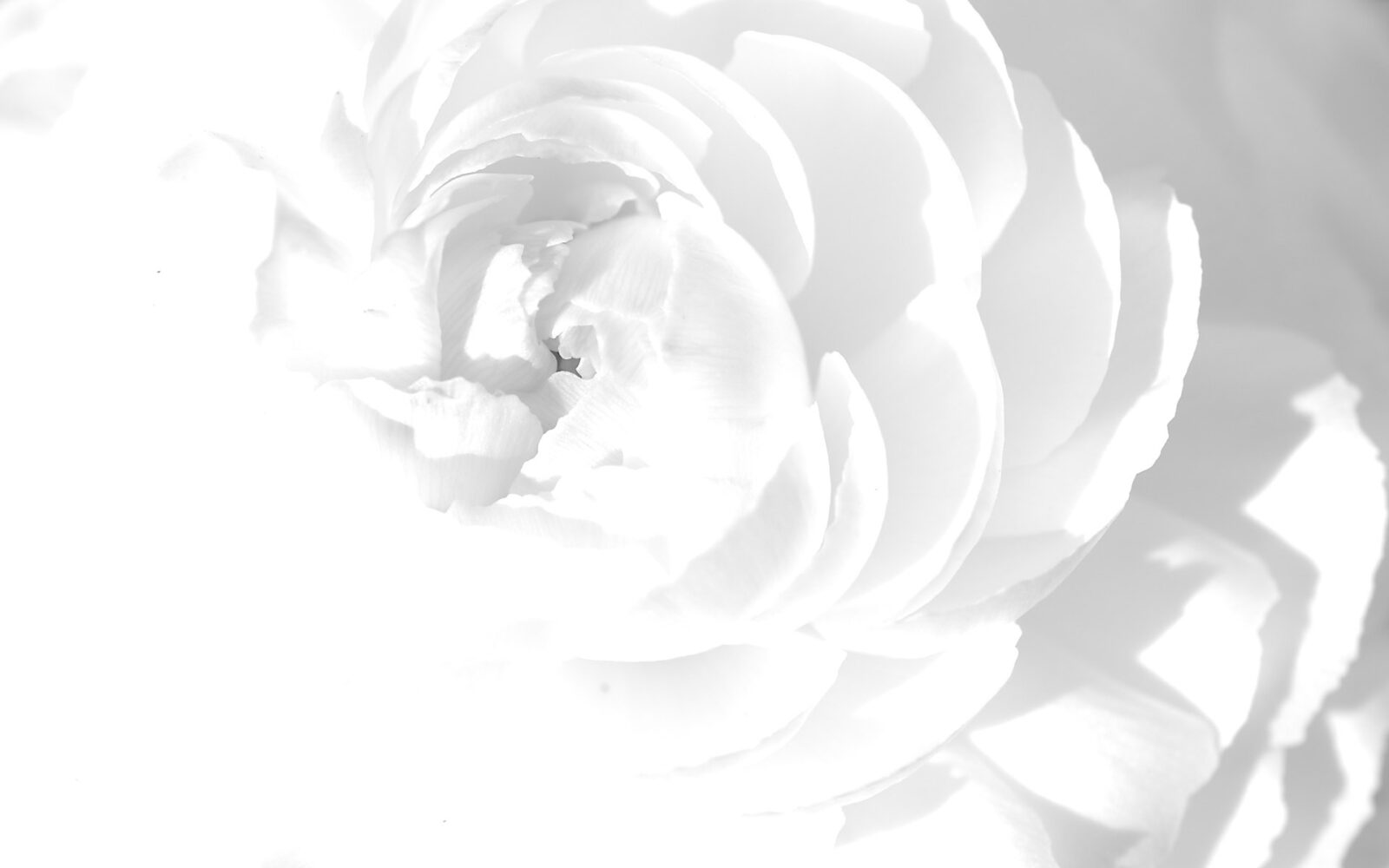 HD white abstract rose flower wavy
