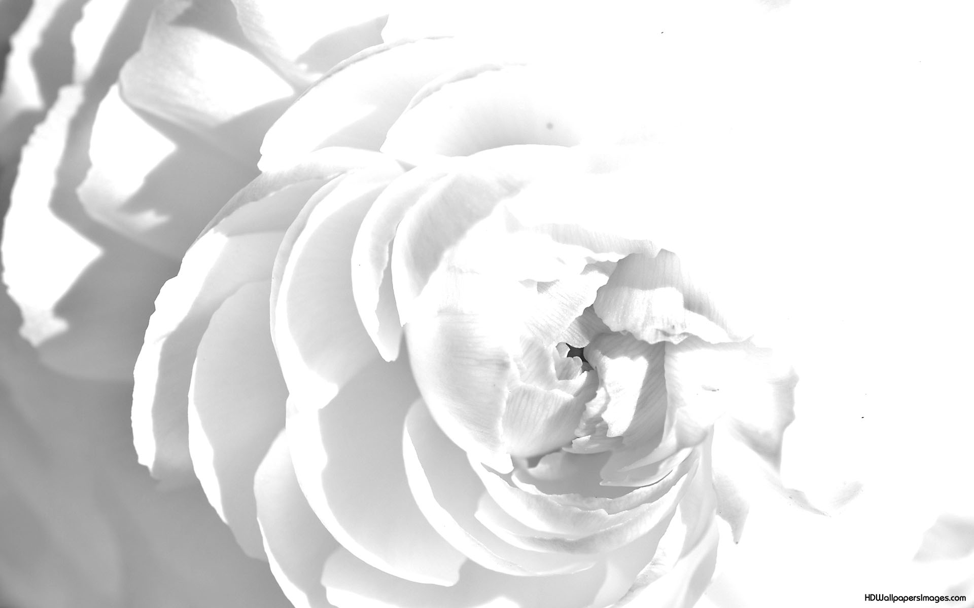 Wavy rose white abstract free picture