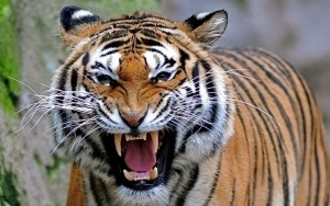Angry tiger HD photos