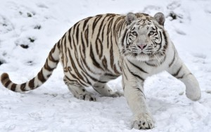 HD wallpaper Tiger in winter 3k