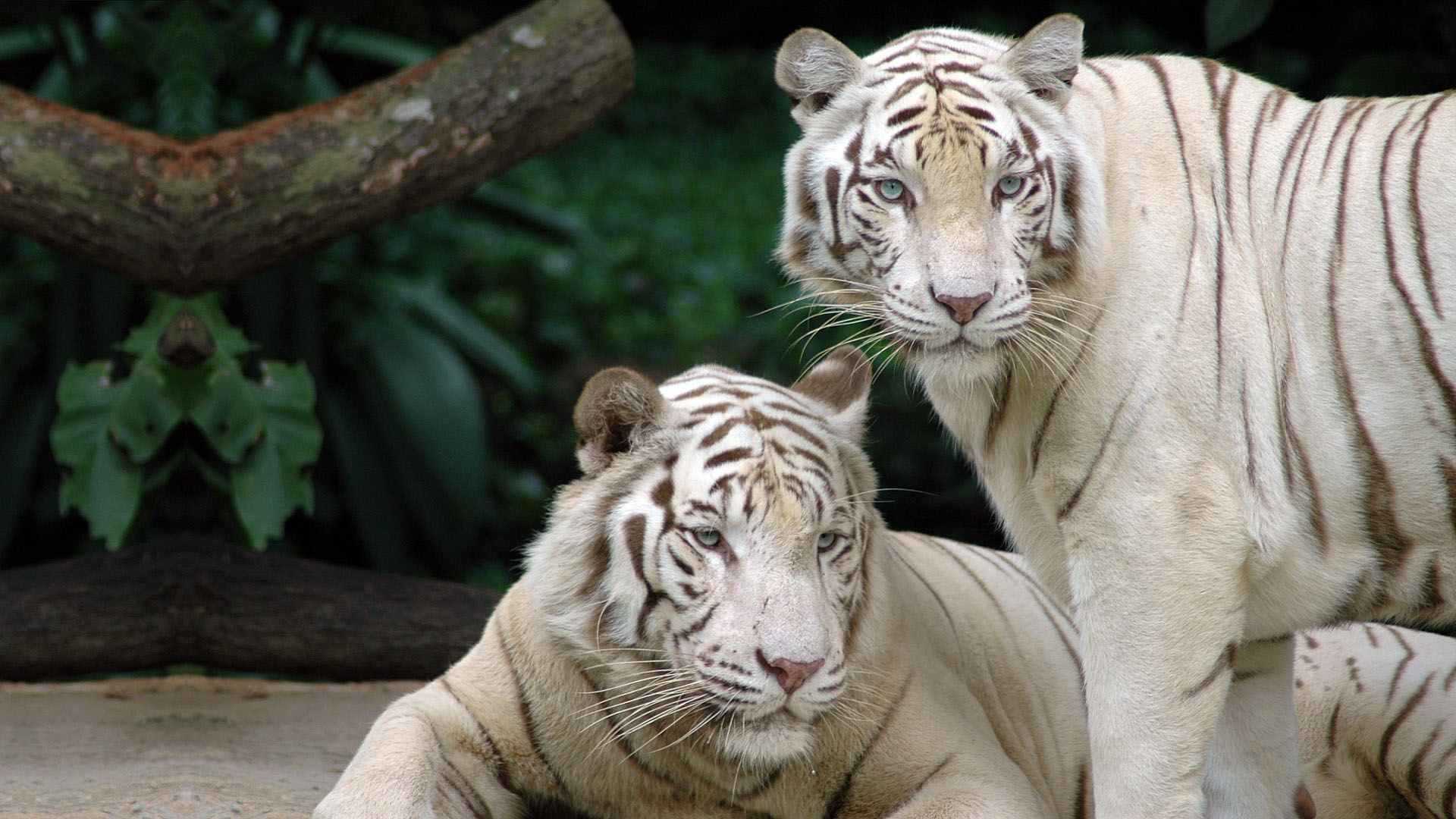 White Tigers high quality wallpaper