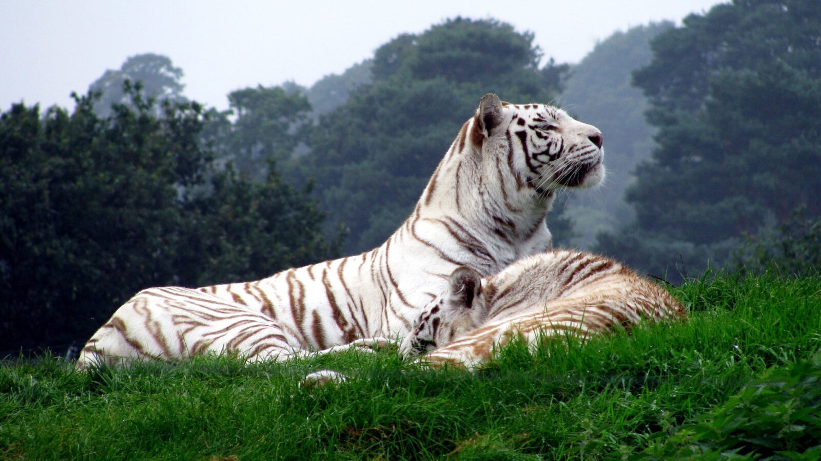 Wild Tiger new HD picture