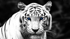 White Tiger wallpaper 1080p