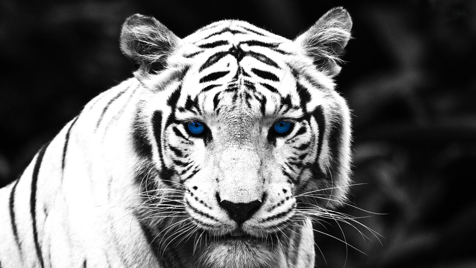 Angry White Tiger Wallpaper Hd 1080p | Galleryimage.co