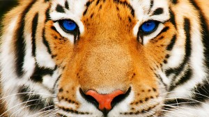 Blue eyes of Tiger free wallpaper
