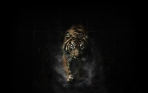 Tiger black background