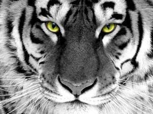 Tiger for computer