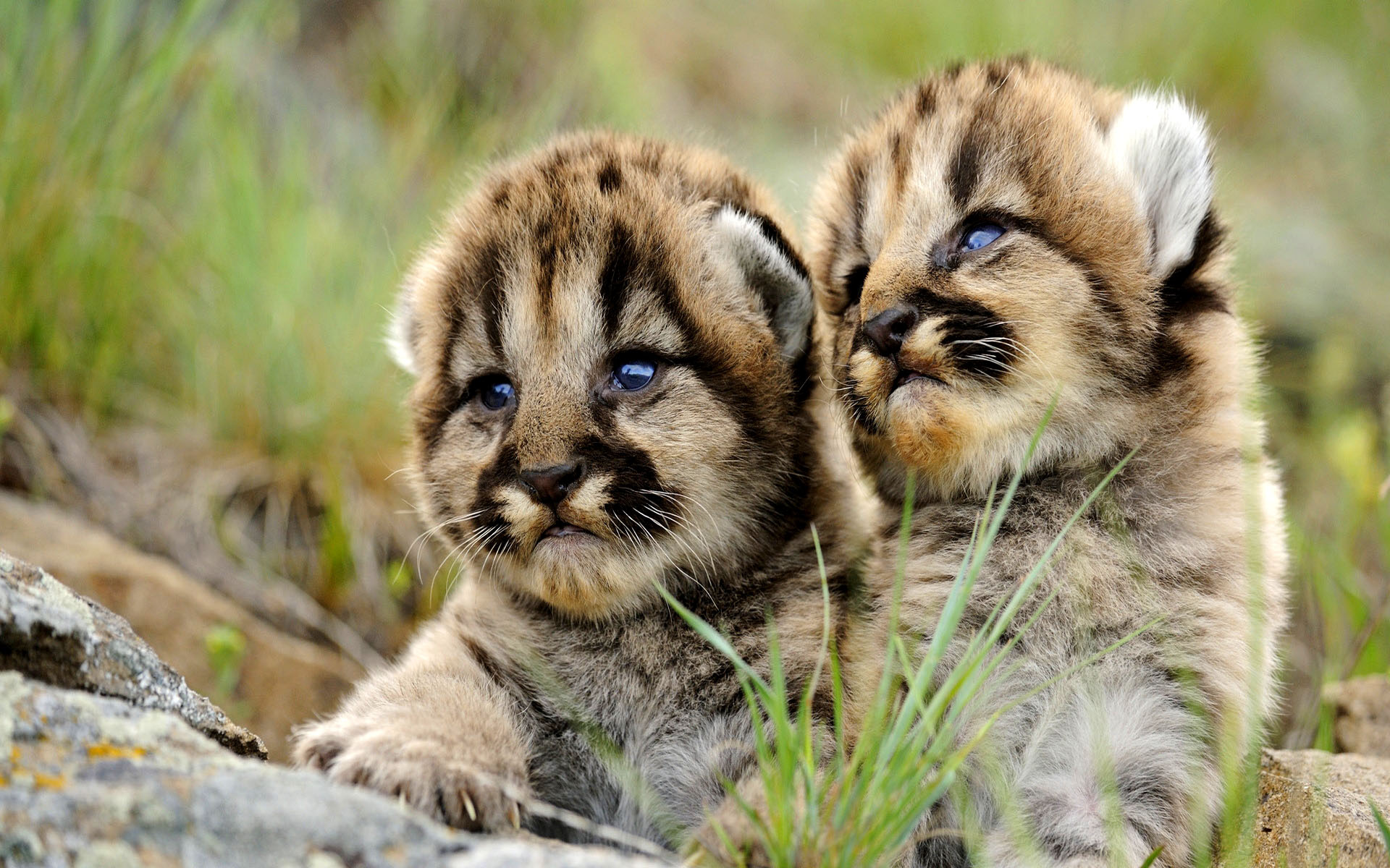 Small tiger cubs picture