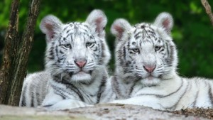 White Tigers 1360x768 wallpaper