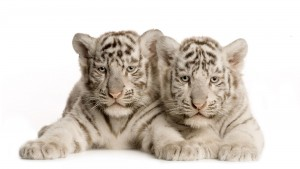 Tiger cubs HD desktop wallpaper