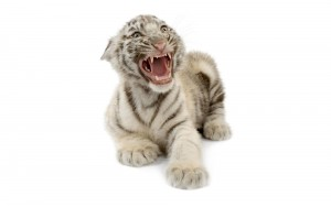 White tiger cub wallpaper