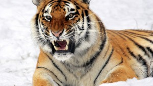 Picture Tiger in the winter