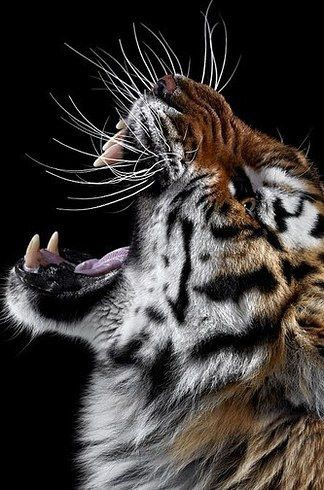 Pic Tiger for iPhone