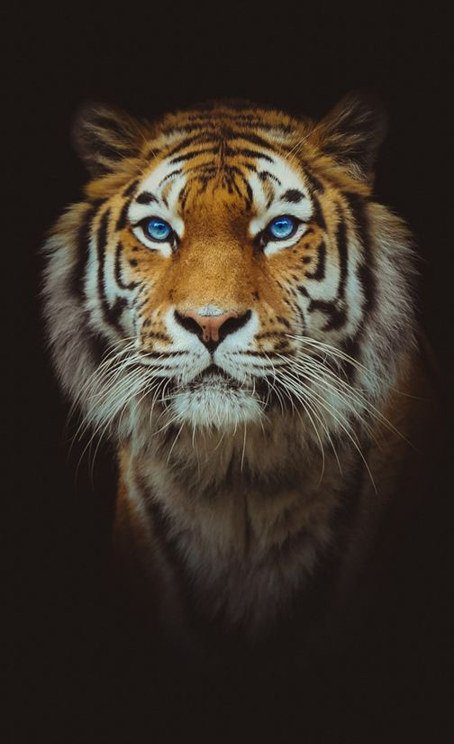 Tiger face for Android and iPhone