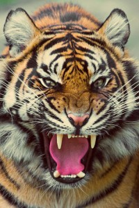Photo Angry Tiger for Android