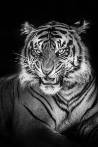 Iphone Tiger black background