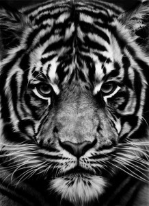 Tiger portrait for Android