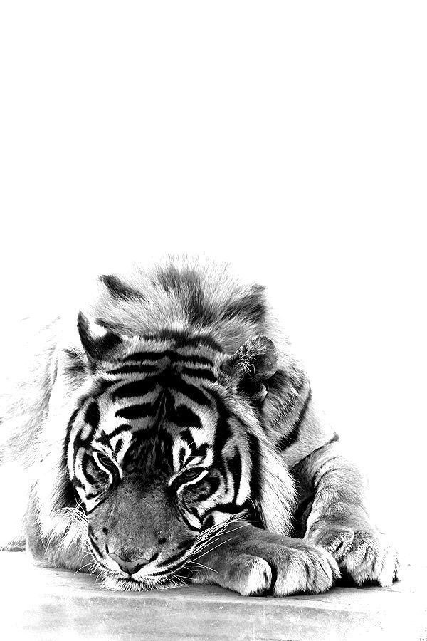 HD picture Tiger for mobile
