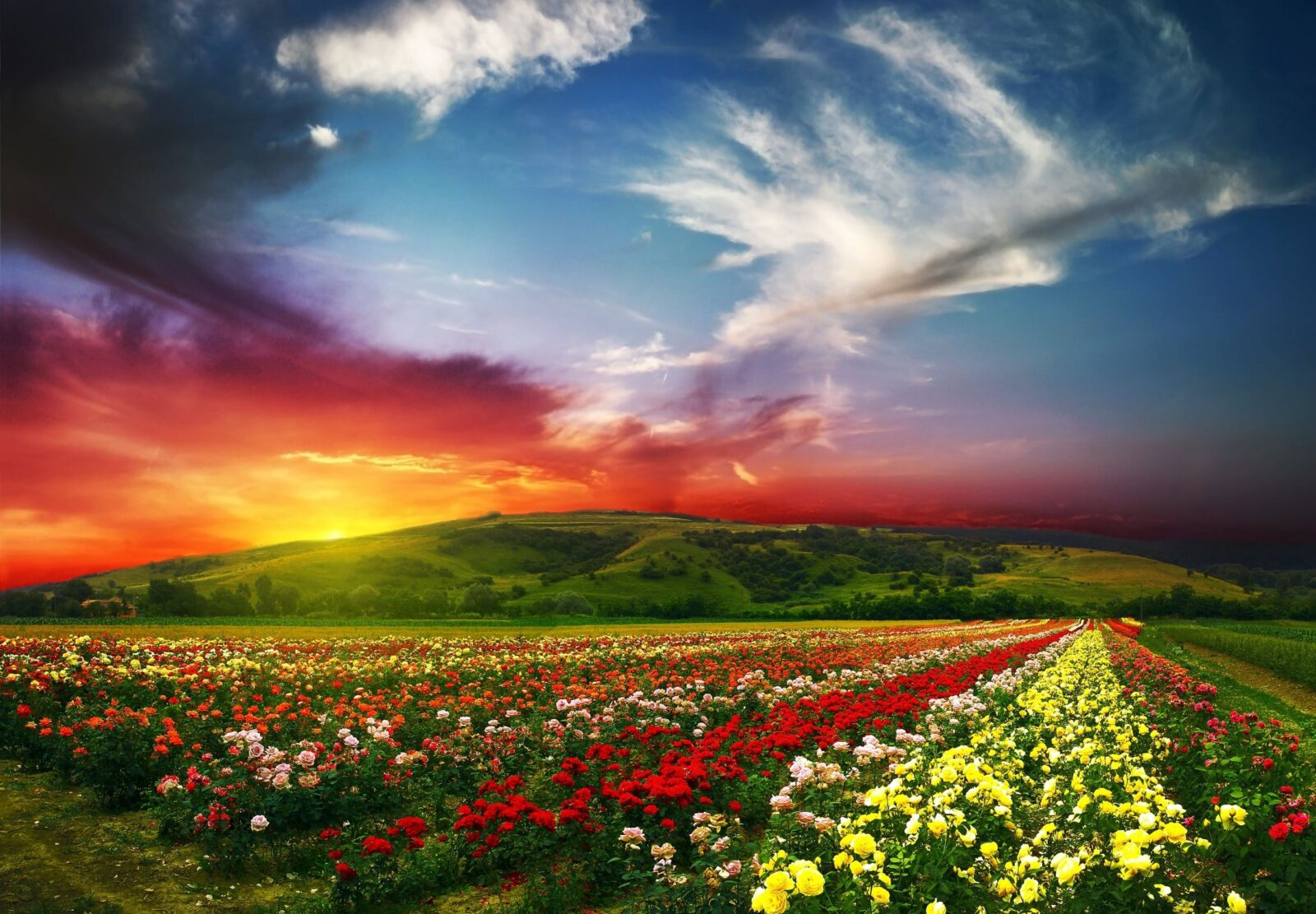 Nature field of flowers HD wallpapers free Download