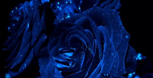 Blue rose 1920x1080 wallpaper