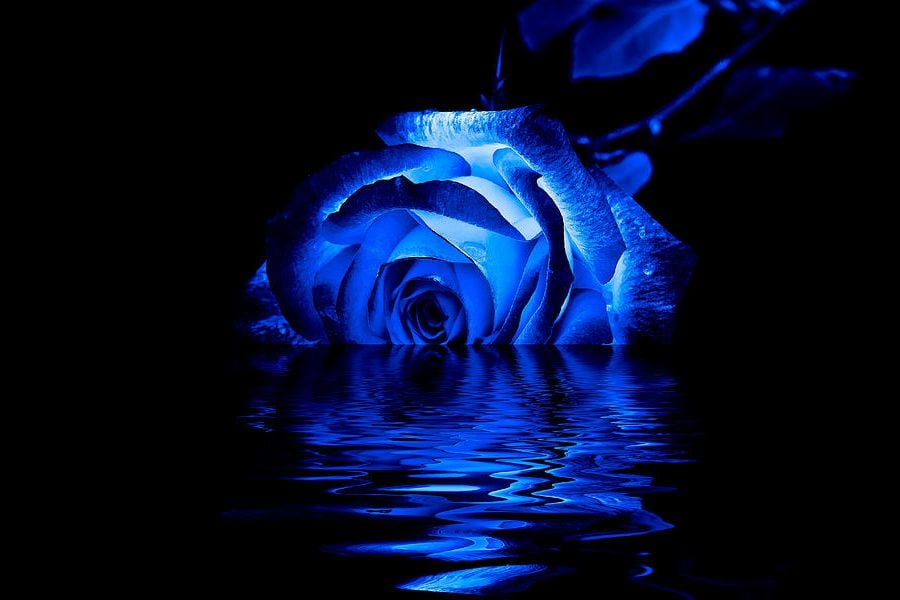 Blue rose HD pic for PC