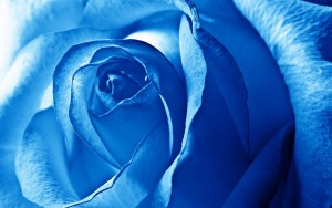 Blue rose wallpaper 1080p