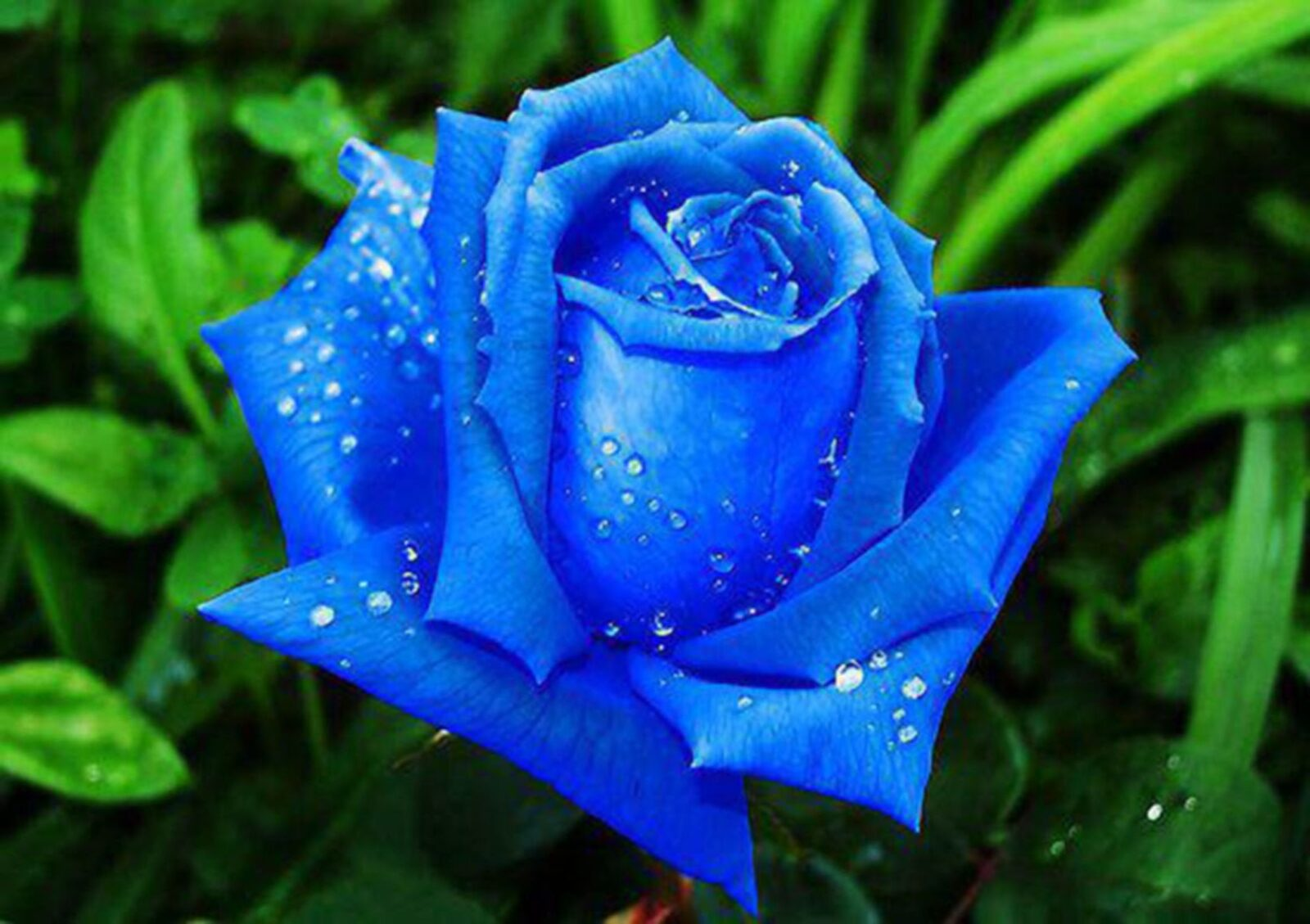 595 Free images of Blue Rose