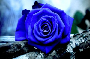 Pics of Blue rose