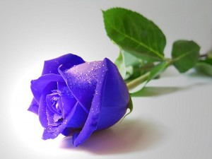 Blue rose full HD image