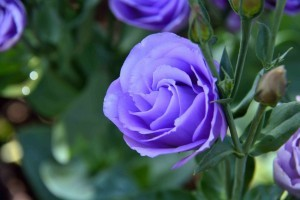 Blue rose HD wallpapers