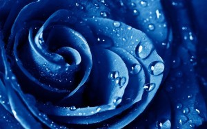 Water drops Blue rose backgrounds