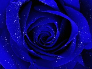 Blue rose wallpaper download