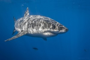 Great White Shark 1920x1080 wallpaper
