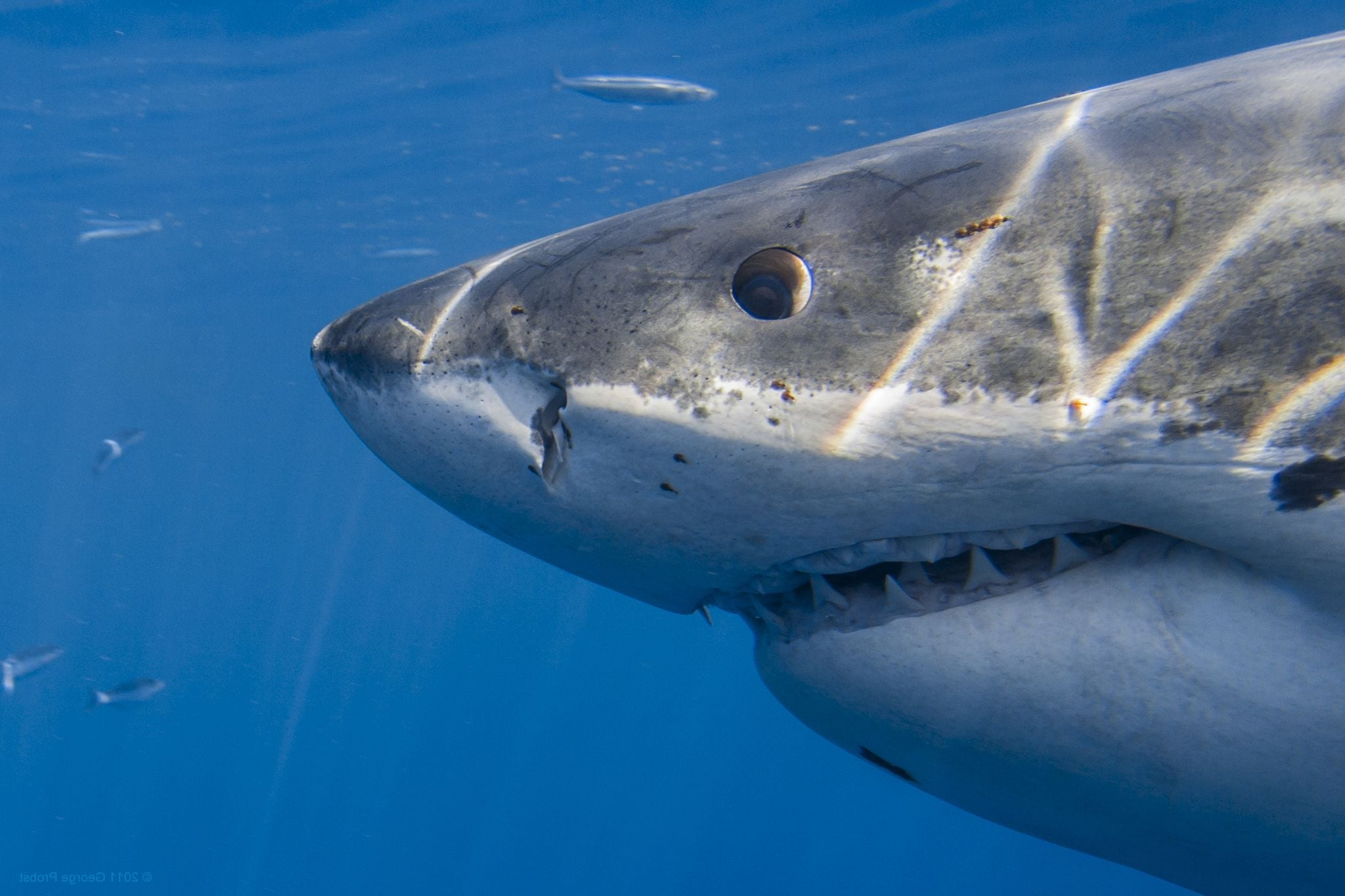 Essays on great white sharks