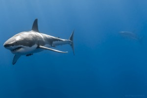 Water Great White Shark High Quality wallpapers
