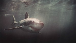 Great White Shark picture