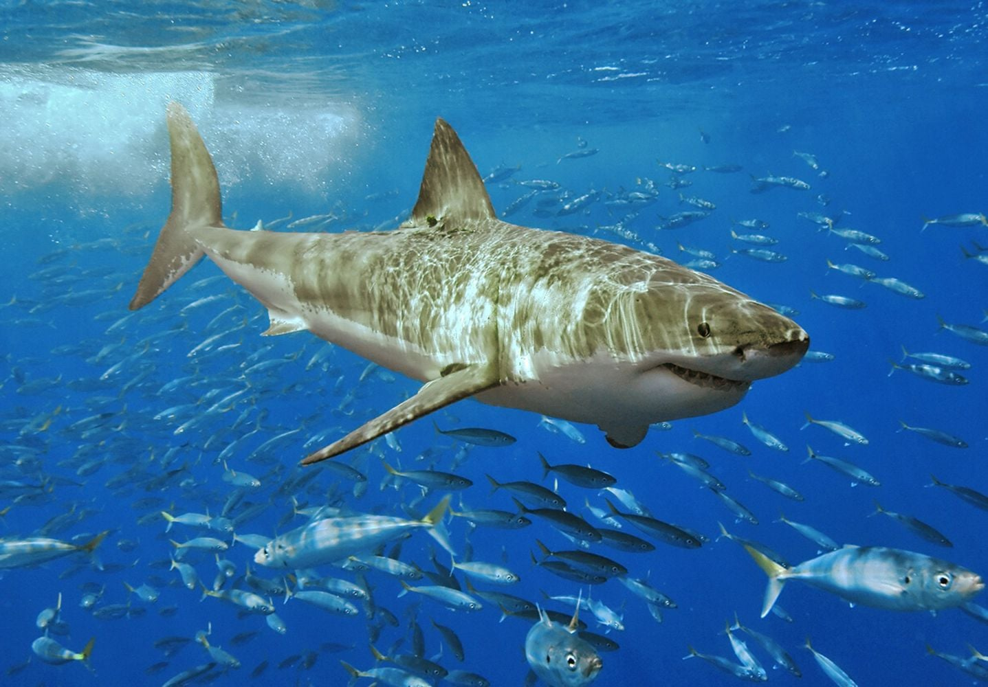 Great white sharks could be in British waters  BBC News