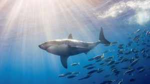 sunrise Great White Shark backgrounds