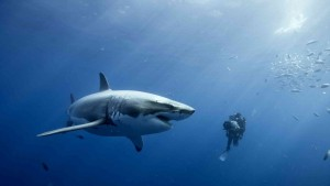 Great White Shark and man free download