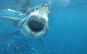 Great White Shark attack wallpaper 1080p
