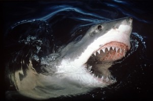 Best Great white shark wallpapers backgrounds
