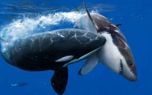 Killer Whale vs great white shark widescreen