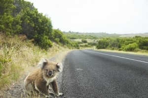 Koala Bear 4k wallpaper download