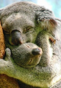 Koala Bear Android HD backgrounds