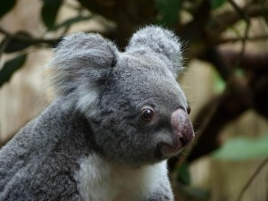 Koala Bear big eyes full HD image