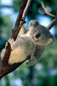Koala Bear cub High Resolution wallpaper