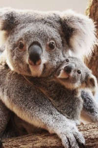Koala Bear cub and mom wallpaper download for iPhone