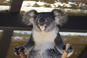 Koala Bear funny 1920x1080 wallpaper