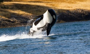 Orca Killer Whale picture