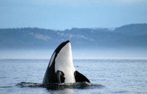 Wallpaper of Orca Killer Whale